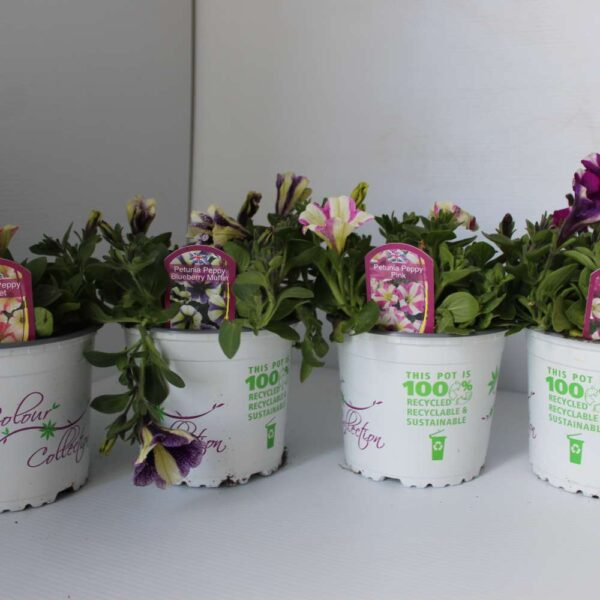Petunia Peppy 4 for £10