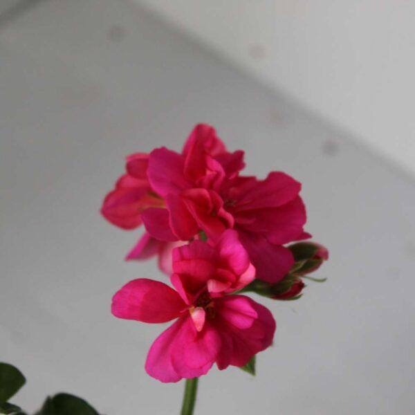 Pelargonium 10.5cm (Upright)