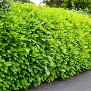 Laurel Hedge - Prunus Rotundifolia