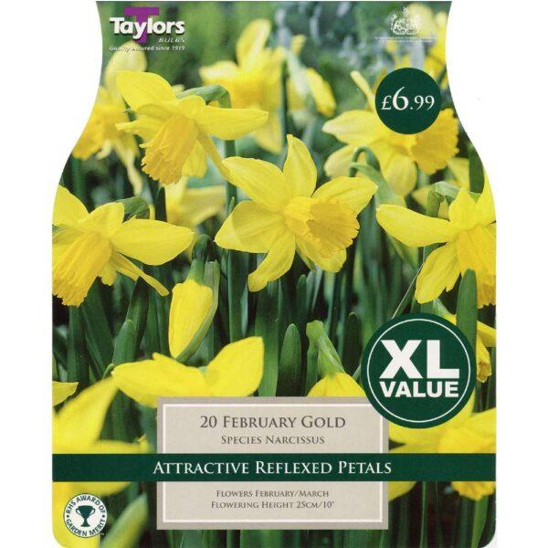 Narcissus February Gold 20 Bulbs