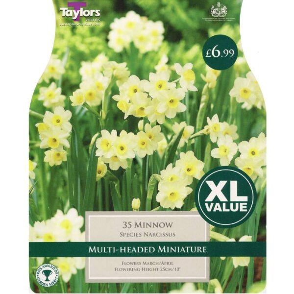Narcissus Minnow 35 Bulbs