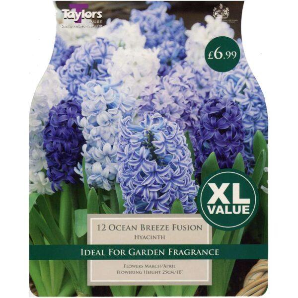 Hyacinth Ocean Breeze Fusion 12 Bulbs
