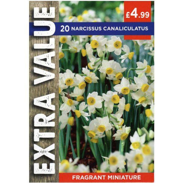 Narcissus Canaliculatus 20 Bulbs