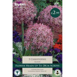 Allium Christophii 5 Bulbs