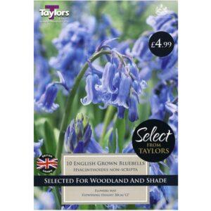 English Grown Bluebells 10 Bulbs