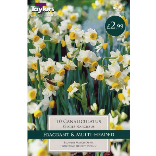 Narcissus Canaliculatus 10 Bulbs