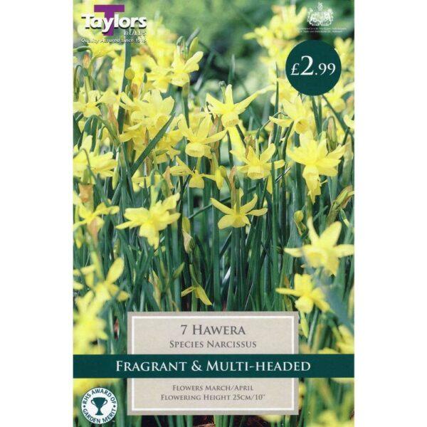 Narcissus Hawera 7 Bulbs