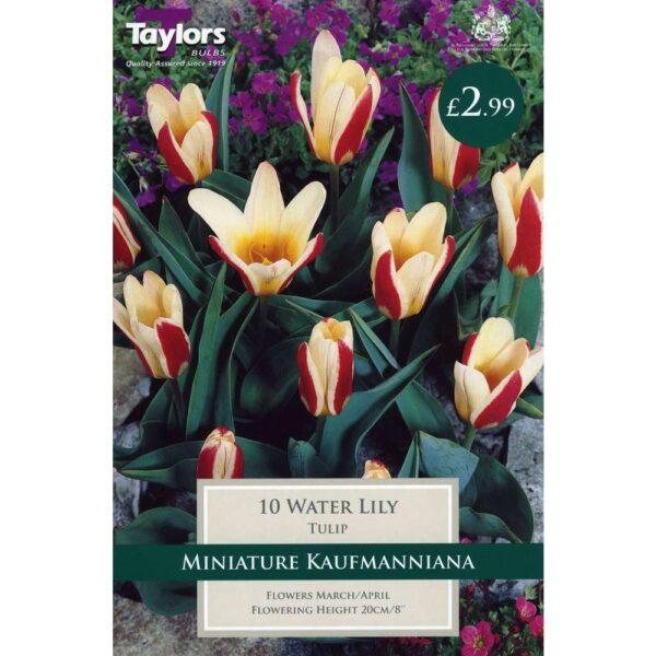 Tulip Water Lily 10 Bulbs