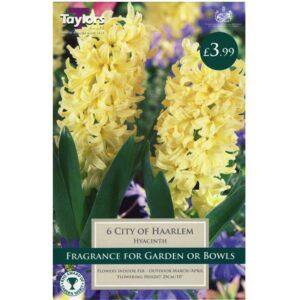 Hyacinth City Of Haarlem 6 Bulbs