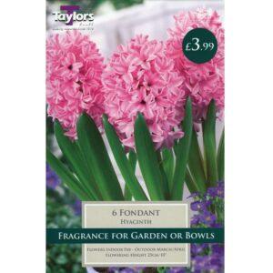 Hyacinth Fondant 6 Bulbs