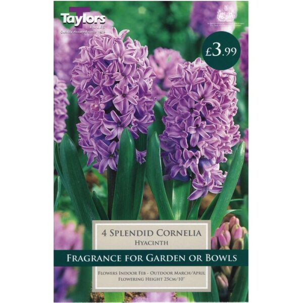 Hyacinth Splendid Cornelia 4 Bulbs