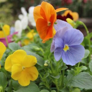 Pansy Clear Spring Mix