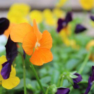 Viola Harvest Mix