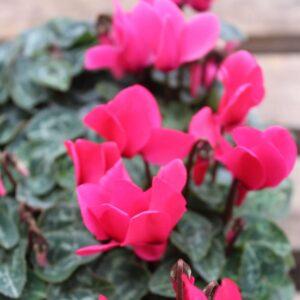 Cyclamen Green Leaf  Rose