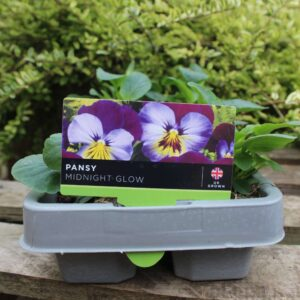 Pansy Midnight Glow 6 Pack