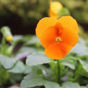 Viola Orange Duet 6 Pack