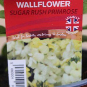 Wallflower Sugar Rush Primrose