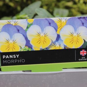 Pansy Morpho 6 Pack