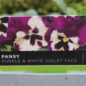Pansy Purple & White Violet Face