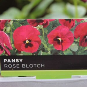 Pansy Rose Blotch 6 Pack
