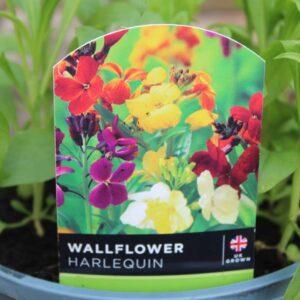 Wallflower Harlequin