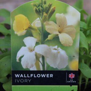 Wallflower Ivory Bedder