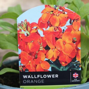 Wallflower Orange Bedder