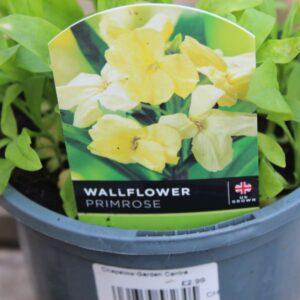 Wallflower Primrose Bedder